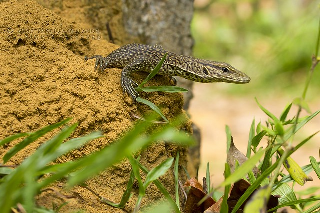 319A3437W Monitor - Varanus bengalensis juvenile Ratnapura sri lanka