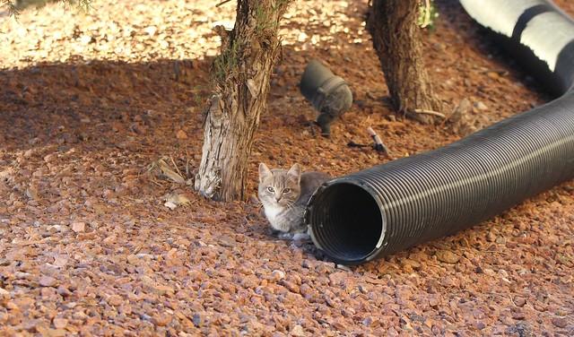 Wild Kitten in El Paso