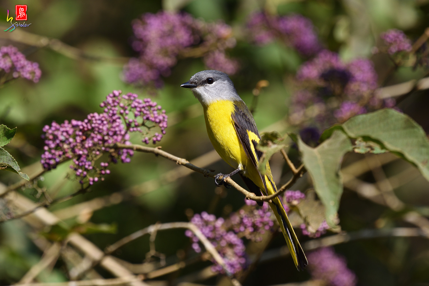 Grey-chinned_Minivet_8718