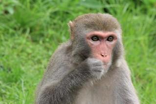 Rhesus macaques - Lion Hill, Hong Kong