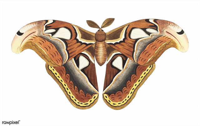 Atlas moth illustration from The Naturalist's Miscellany (1789-1813) by George Shaw (1751-1813)