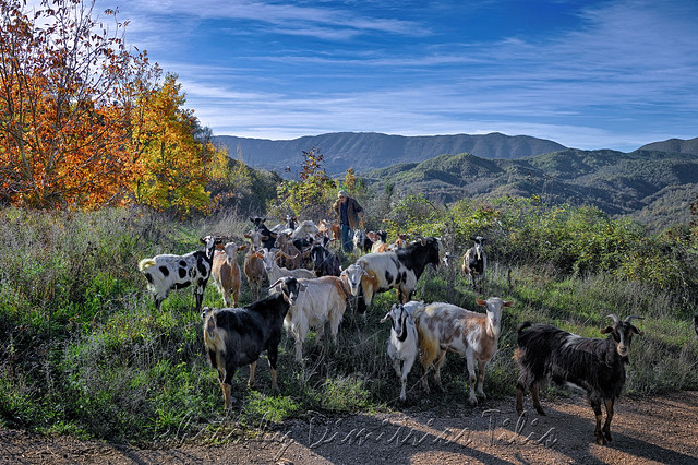 Old goatherd and his flock