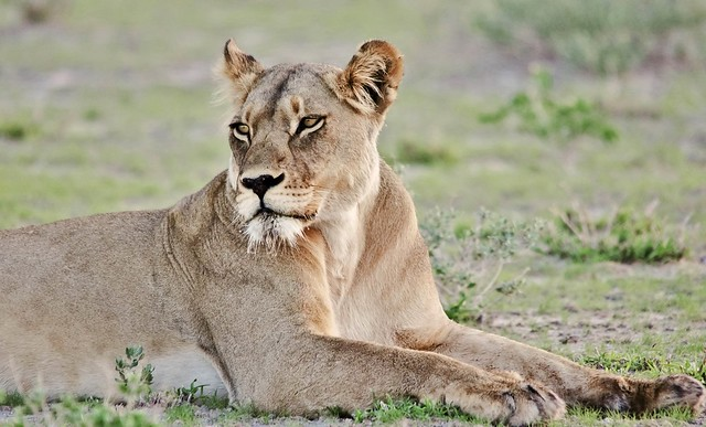 Female Lion Portrait (Panthera leo)