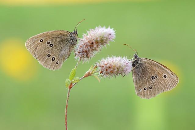 23. Chocolate Butterflies...