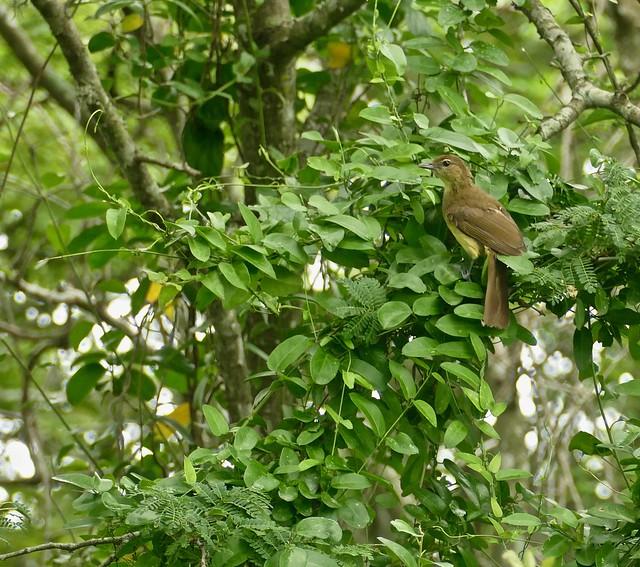 Yellow-bellied Greenbul (Chlorocichla flaviventris)