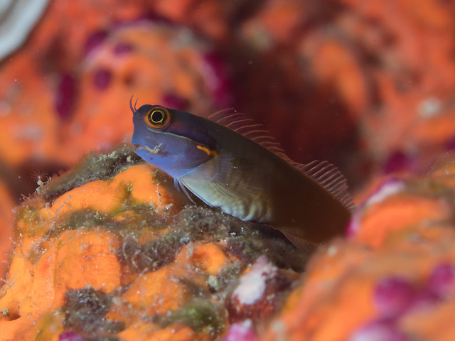 Tailspot coralblenny (Ecsenius stigmatura)