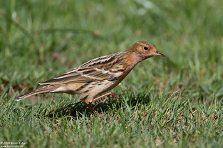 Red-throated Pipit, Anthus cervinus