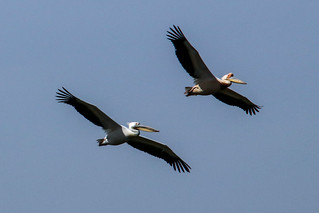 Pelicans in Djoudj National Park, Senegal (Unesco world heritage site) | by Frans.Sellies