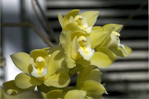 orchid cymbidium yellow tropical greenhouse universityofcolorado departmentofecologyandevolutionarybiology flower earthnaturelife wondersofnature