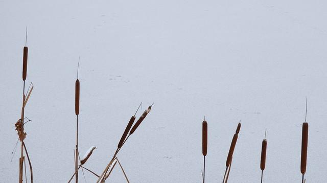 reeds on ice
