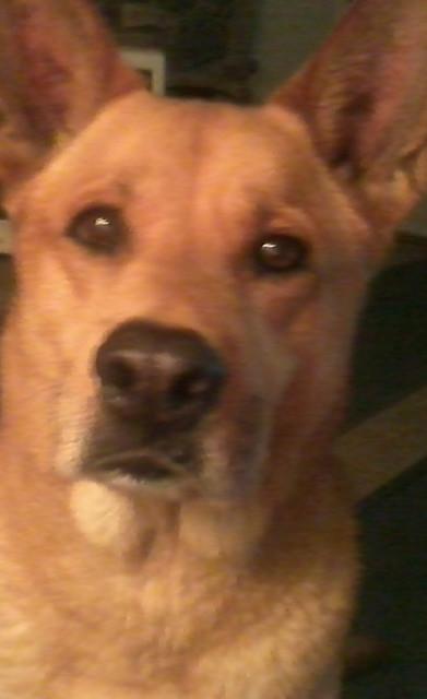 Carolina Dog - Dog Scanner