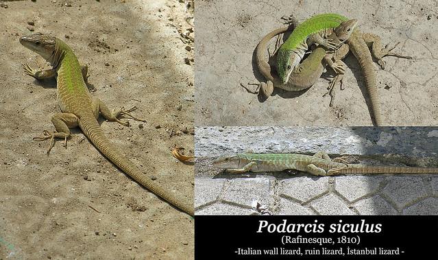 Podarcis siculus (collage)