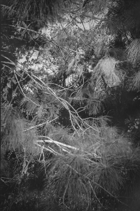 in the thicket, tangles limbs and vines, palms and pines, Jacksonville, Florida, Goerz Box Tengor, Arista.Edu 200, Ilford Ilfosol 3 developer, 11.30.18