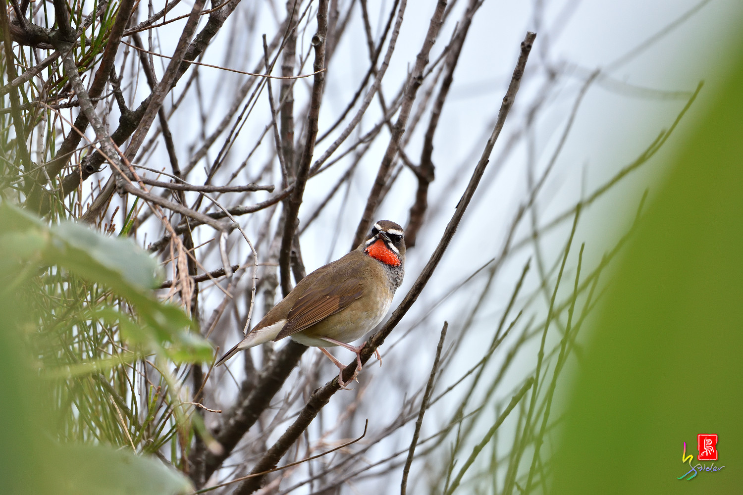 Rubythroat_5996