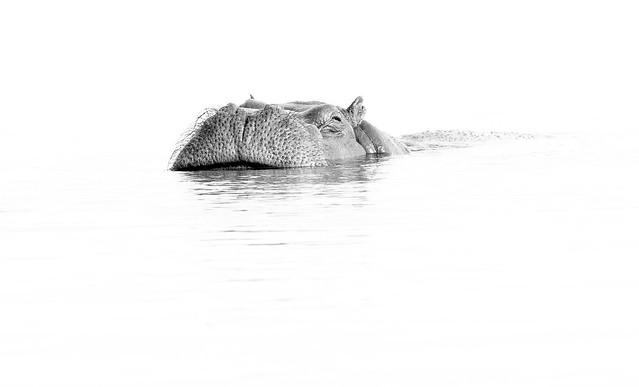 Hippo in the Chobe