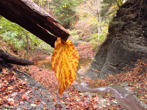 Leaf  in Barnes Gully, New York