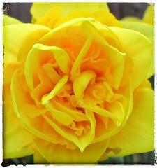 Double Daffodil Centre