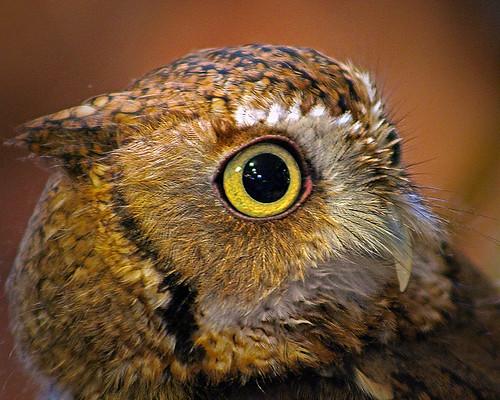 2019.03.09 Sunrise Wildlife at WBU Eastern Screech Owl Ruby 10 | by Admiral Elk