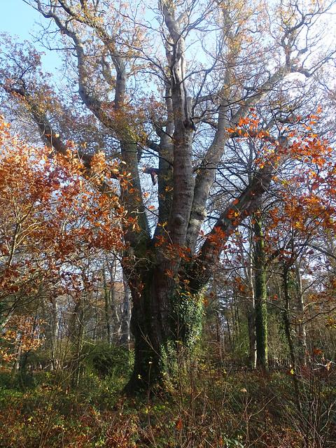 Knightwood Oak
