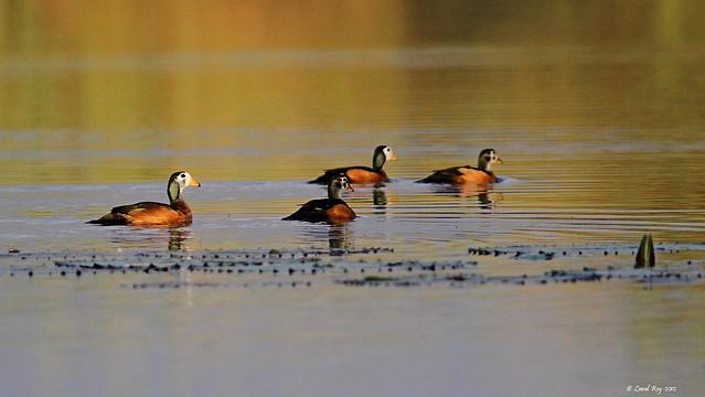 1.00329 Anserelle naine / Nettapus auritus / African Pygmy-goose