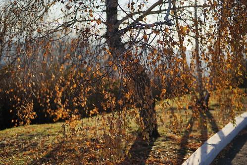 Gypsy birch | by sorrento_photo