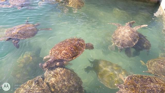 Breeding turtles