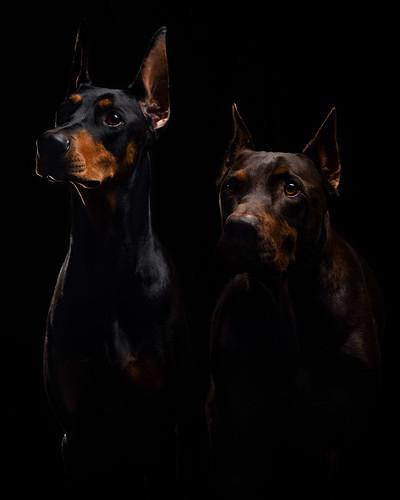 DogShow-003   by RedDobeChase