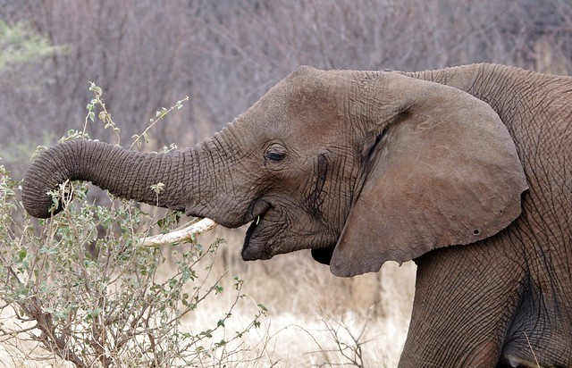 Female Elephant Eating (Loxodonta africana)