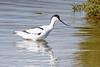 **Avocette élégante** Recurvirostra avosetta by geolis06