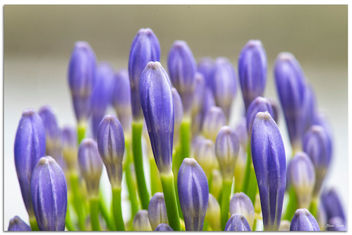Agapanthus Flowers | by Bear Dale