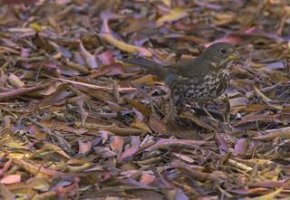 FOSP_CROP | by eldoradobirds