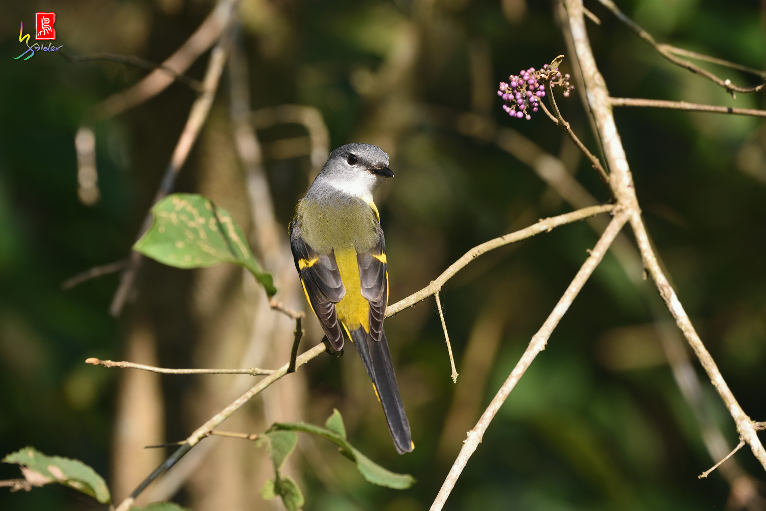 Grey-chinned_Minivet_8685