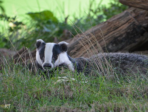 Badger | by Carine06
