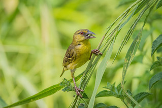 Village weaver,  grote textorwever (Ploceus cucullatus)  - Footsteps Ecolodge, The Gambia | by Umlilo1979