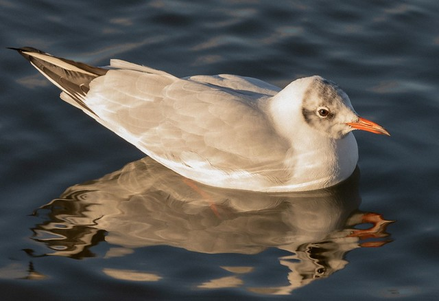 Mouette rieuse- Chroicocephalus ridibundus - Black-headed Gull