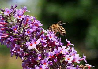 2018 December Bee on Buddleia 1000 | by Meesie44