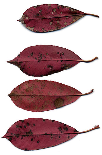 Scanned leathery red leaves with spots