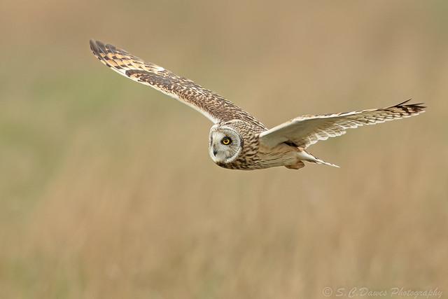 Short Eared Owl ( Asio flammeus )