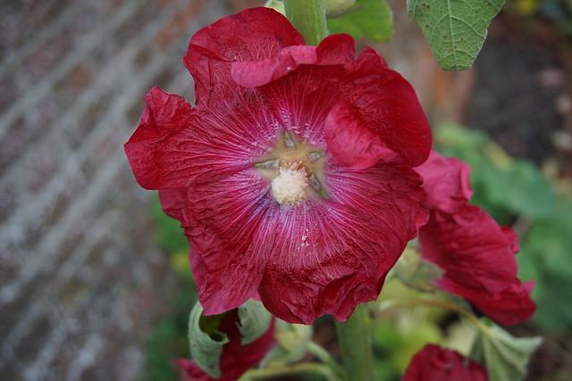 late-flowering hollyhock