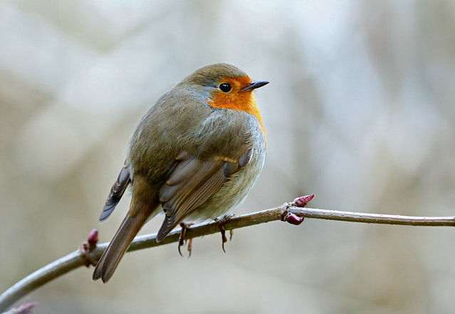 European Robin --- Erithacus rubecula