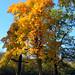 Herbstbaum im Nymphenburger Schloßpark