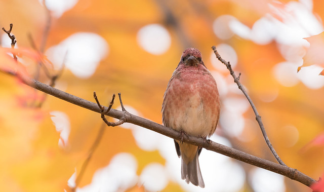 Roselin pourpré // Purple Finch