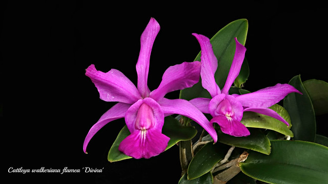 Cattleya walkeriana flamea 'Divina'
