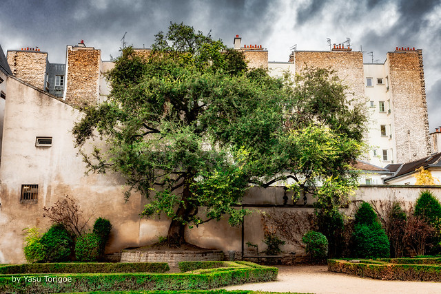 One Large Tree in the Hotel de Sully Garden, Paris, France -13a