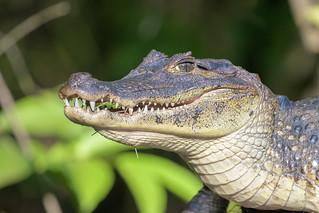Caiman with porcupine quills on face