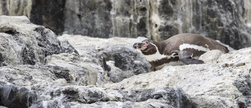 Humboldt Penguin, Spheniscus humboldti_199A5310