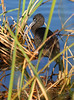 Glossy Ibis by Wild Chroma