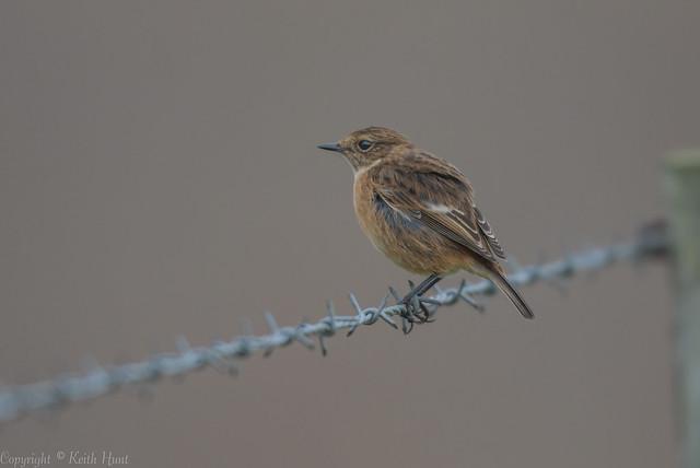 Stonechat (female) - (Saxicola rubicola)  - 'Z' for zoom