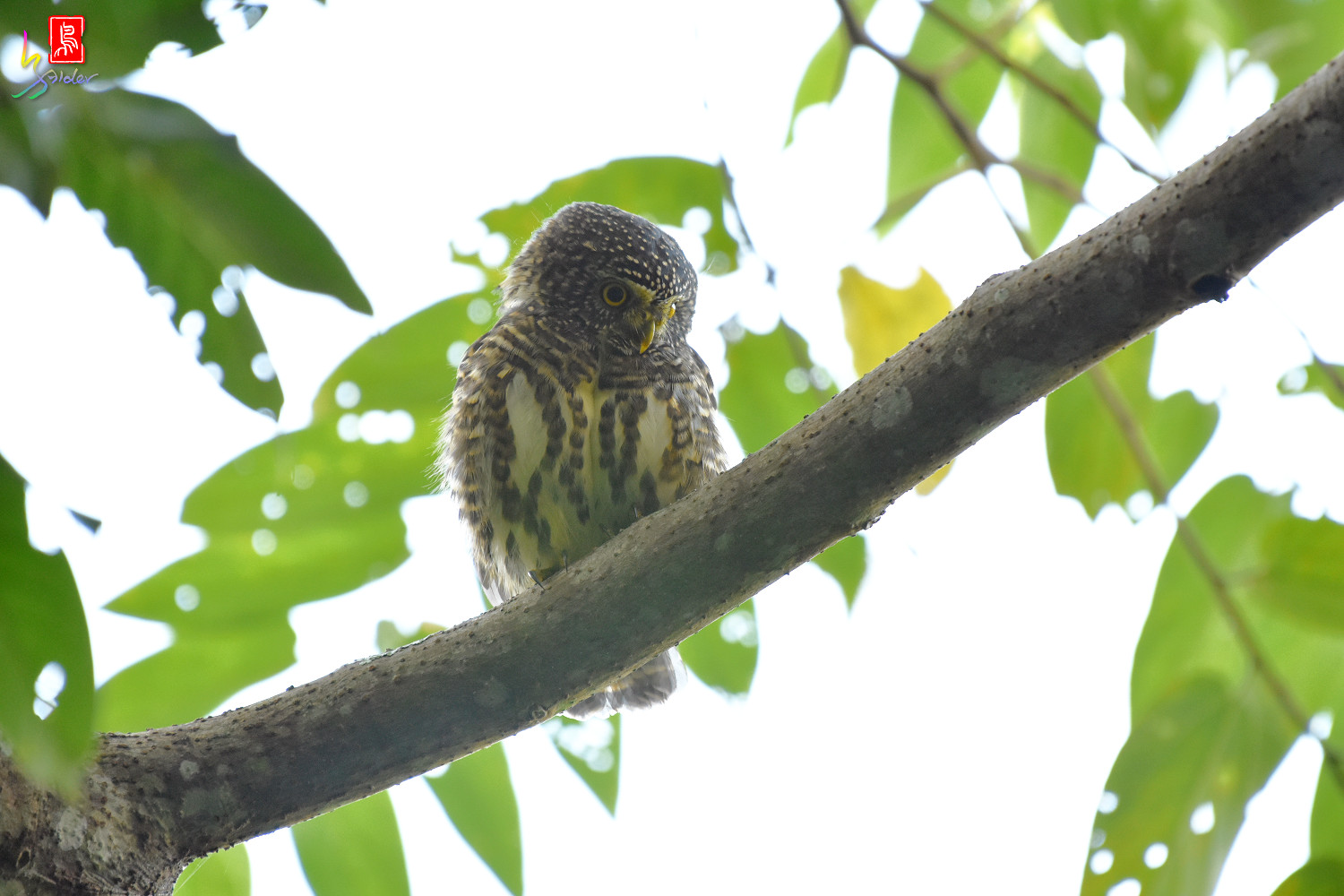 Collared_Owlet_4637