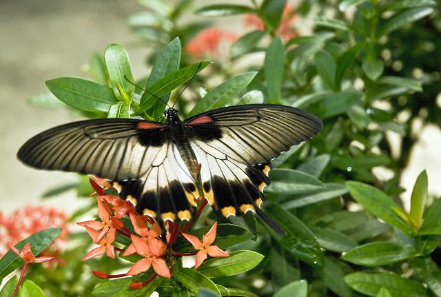 Butterflies of Aruba (In Explore)